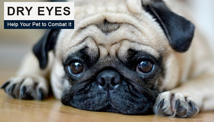 dry eye in dogs