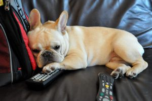 bulldog with remotes and watching TV