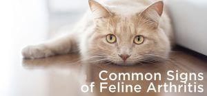 cat arthritis symptoms