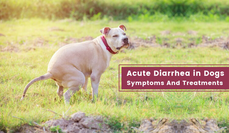 Acute Diarrhea In Dogs Symptoms And Treatments