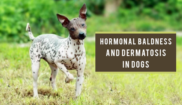 Baldness and Dermatosis in Dogs - CanadaPetCare