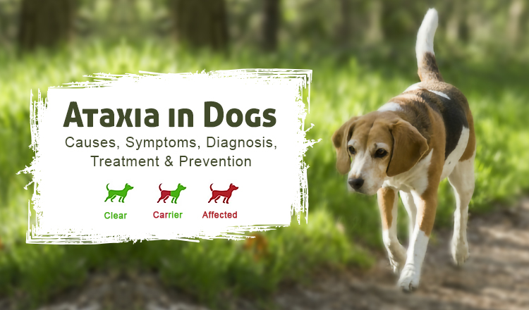 Ataxia in Dogs: Causes, Symptoms, Diagnosis, Treatment & Prevention
