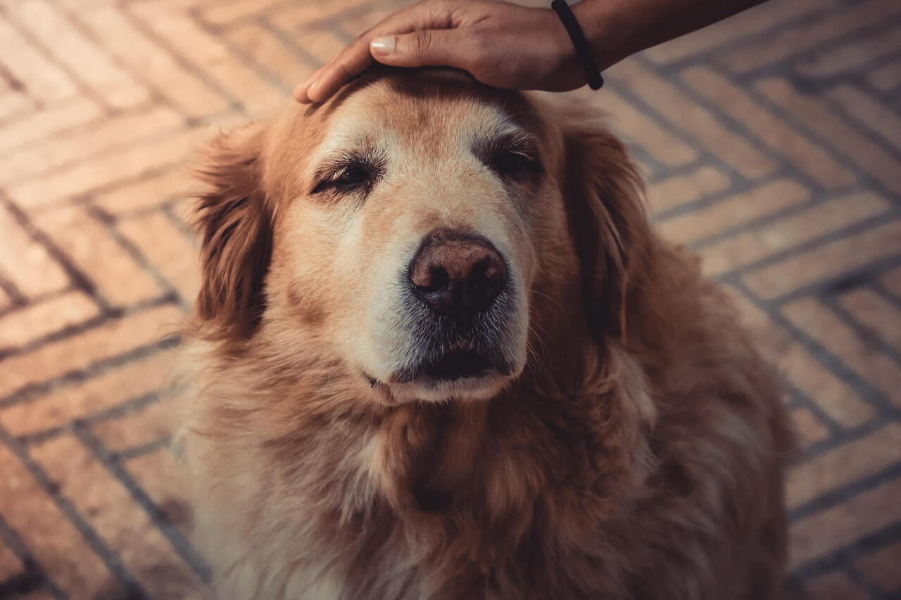 How to Take Care of Your Dogs Senior Dog